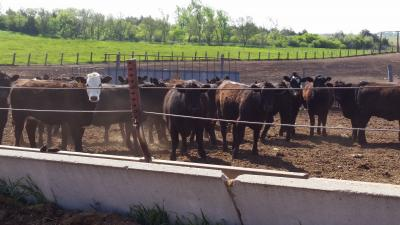 A group of mixed heifers in a feedlot.