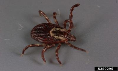 Teardrop shaped tick with a dark brown body and legs and an elongate white patch behind its head.