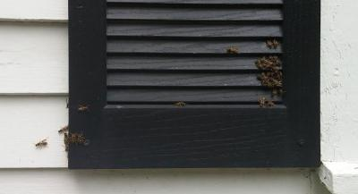 Black window shutter against white siding with a group of wasps on its lower right and left corners.