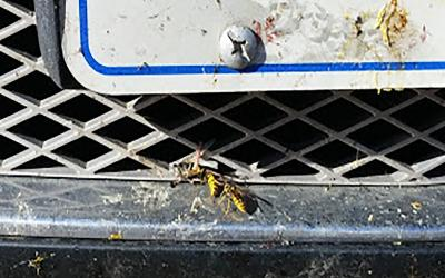 Two yellow and black wasps gathering dead insects off of the grille of a vehicle.