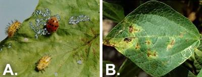 "Two photos of common green bean issues side-by-side. The first is labeled ""A"" and shows bean leaf beetles defoliating a leaf. The second is labeled ""B"" and brown spots on a bean leaf due to material blight."