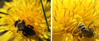 Two dandeloins side by side. The left has a bee with a very fuzzy yellow thorax and dark wings and abdomen foraging on it. The right has a bee with with a black and pale-yellow striped abdomen resting foraging on it.