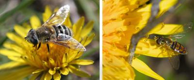 Two dandelions side by side. The left has a large fly with white and black striped abdomen foraging on it. The right has a small fly with orange and black patterned abdomen foraging on it.