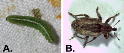 "Two photos of alfalfa weevils during different lifecycle stages. The left ""A,"" is the larva stage and has a longate, green larvae that looks like a caterpillar with white stripe running down the body and brown head. The right, ""B,"" is the adult stage and pictures a brown beetle with long snout."