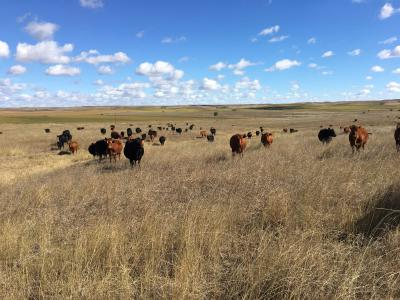 A herd of mixed cattle grazing in a vast, open rangeland.