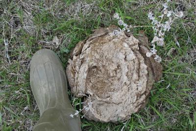 A rubber boot next to a patty of dung in a pasture.