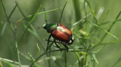 Shiny green and bronze beetle on green dill plant.