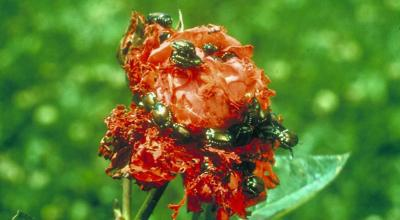 Shiny green and bronze beetles feeding on a red rose flower.