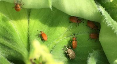 Small reddish-orange beetles on a green sunflower bud with a larger grey beetle also present.