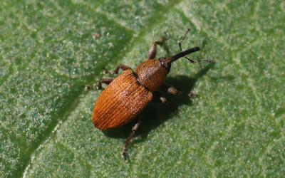 Red-brown colored weevil with bent antennae originating on the elongated mouthparts.
