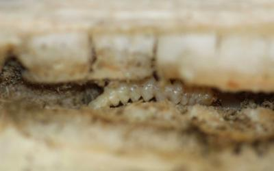 Accordion shaped white larvae with brown head in the center of a sunflower stem.
