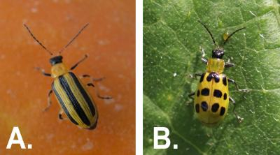 Left: Yellow beetle with a black head and three distinct black stripes on the back. Right: Yellow beetle with a black head and twelve black spots on the back.