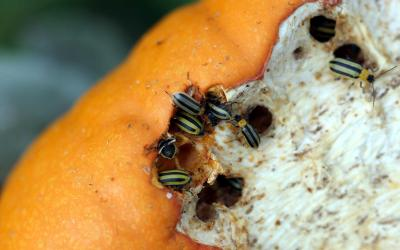 A group of yellow and black striped beetles feeding on an orange pumpkin.