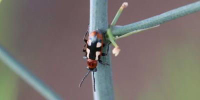 Orange and black beetle with white spots on elytra. It is climbing on an asparagus stem.
