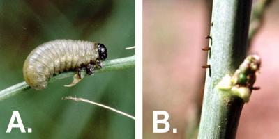 Left: Light gray or cream-colored larva with a black head and legs feeding on an asparagus stem. Right: Dark brown cylindrical shaped eggs laid in rows on a green stem.