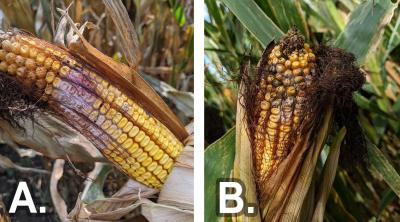 Left: A corn ear with husks peeled to reveal middle ear kernels discolored pink with white mycelia, a sign of Gibberella ear rot. Right: A corn ear with top part of the ear partially covered by husks and upper kernels covered with white mycelium due to Fusarium ear rot.