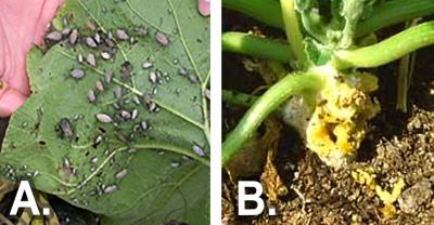 Left: Squash bugs feeding on a leaf. Right: A squash vine with noticeable damage from squash vine borers.