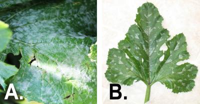 Left: Green squash leaf covered in a white, powdery mildew residue. Right: Green squash leaf with white markings that are not powdery mildew.