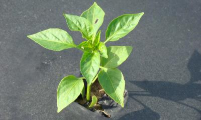 A transplanted pepper plant emerging from black, plastic mulch.