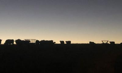 Small herd of cattle waiting for feed at dusk.