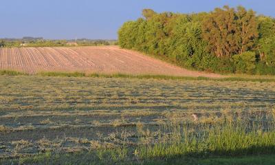 A green cut alfalfa field dries as the sun sets.