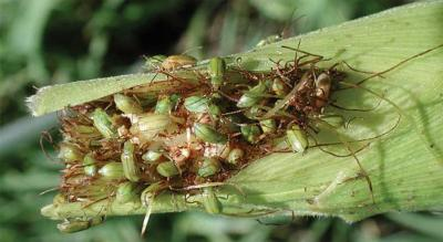 Green beetles feeding on the tip of a corn ear.