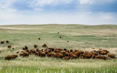 herd of beef cattle grazing in a pasture