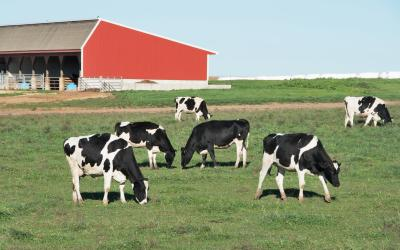 small group of dairy cattle grazing in a pasture near a red monoslope barn