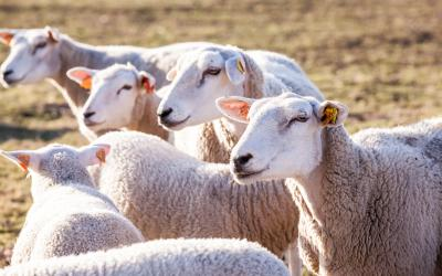small group of sheep standing in a pasture