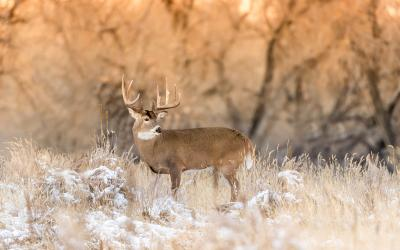 white-tailed buck standing in a clearing with snow on the ground