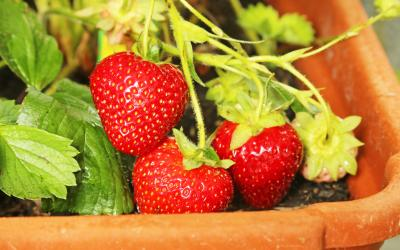 strawberries growing on a vine in a pot