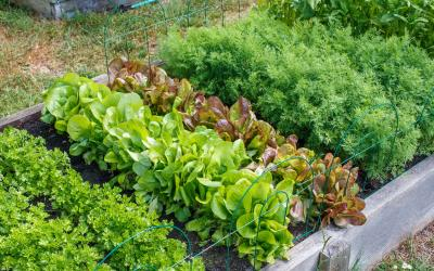 rows of leafy vegetables growing in a raised bed
