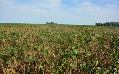 a field of soybeans
