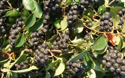 groups of ripe aronia berries of the Aronia melanocarpa variety