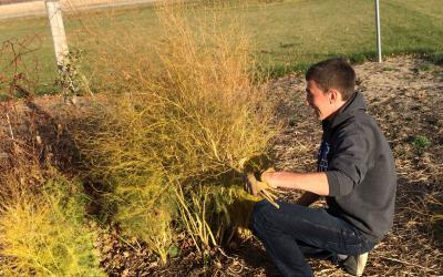 Young man pruning an asparagus plant in a fall garden.