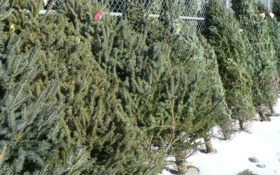 harvested Christmas trees against a fence.