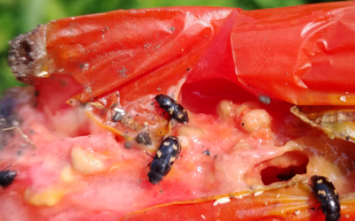 small black and yellow spotted beetles feeding on a damaged red tomato
