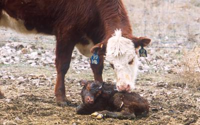 A newborn calf with its mother in a snowy field