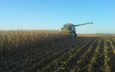 A green combine harvesting corn.
