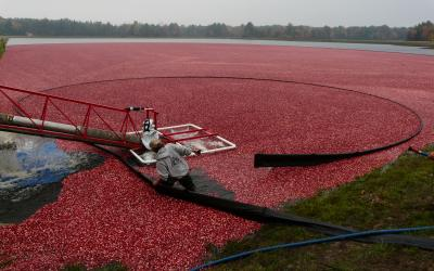 cranberries being loaded by an auger
