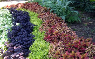 Rows of coleus foliage in dark purple, bright green, and bright pink colors.