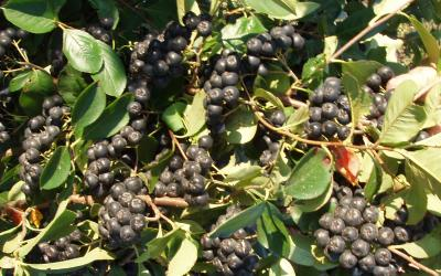 bunches of Aronia berries still on a bush