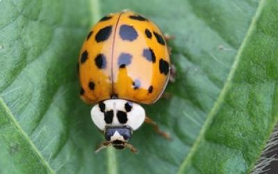 An orange beetle with black spots and a white head sitting on a green leaf