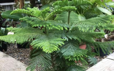 a norfolk island pine tree