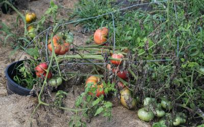 ripe and unripe tomatoes tipping a cage over