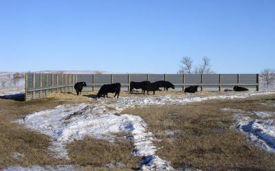 Cattle using a fabricated windbreak in north western South Dakota.