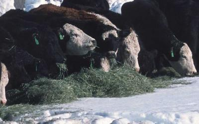 Feeding hay to cattle in deep snow conditions.