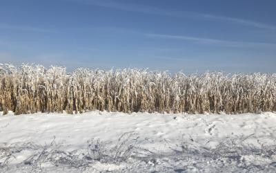 A snow-dusted corn stand.