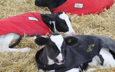 Holstein Dairy Calves lying in fresh straw, wearing calf blankets to help keep warm.