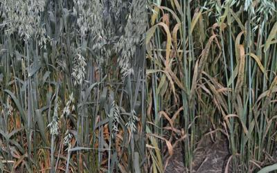 A side-by-side comparison of two oat varietes. The one on the right has crown rust developing on it.